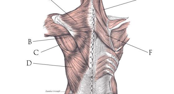 kinesiologia-vii-chrbtove-svalstvo