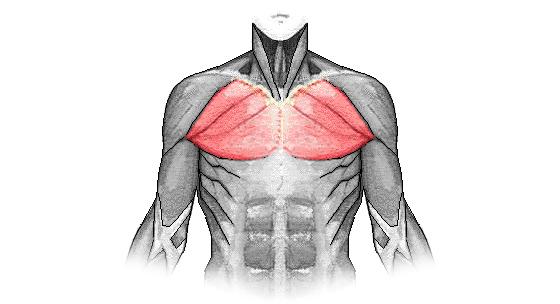 Kinesiológia I. – svaly hrudníka